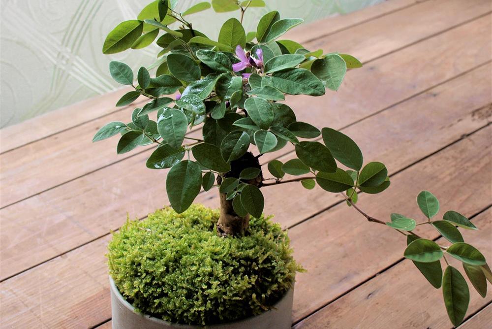 9月16日(土)榊麻美さんの「お月見と楽しみたい萩の盆栽をつくるワークショップ」参加者募集