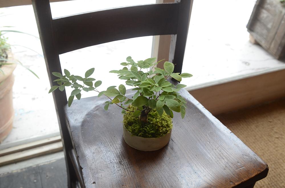 榊麻美さんの「お月見と楽しみたい萩の盆栽をつくるワークショップ」を開催しました