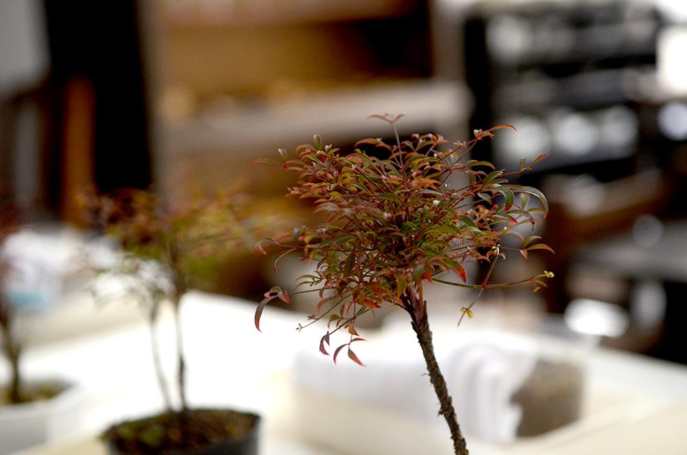 榊麻美さんの「お正月に飾りたい縁起のよい錦糸南天の盆栽をつくるワークショップ」開催しました