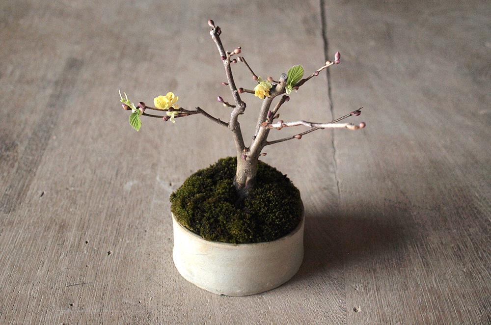 2月24日(土)榊麻美さんの「ヒュウガミズキを盆栽に仕立てる+挿し木をするワークショップ」参加者募集