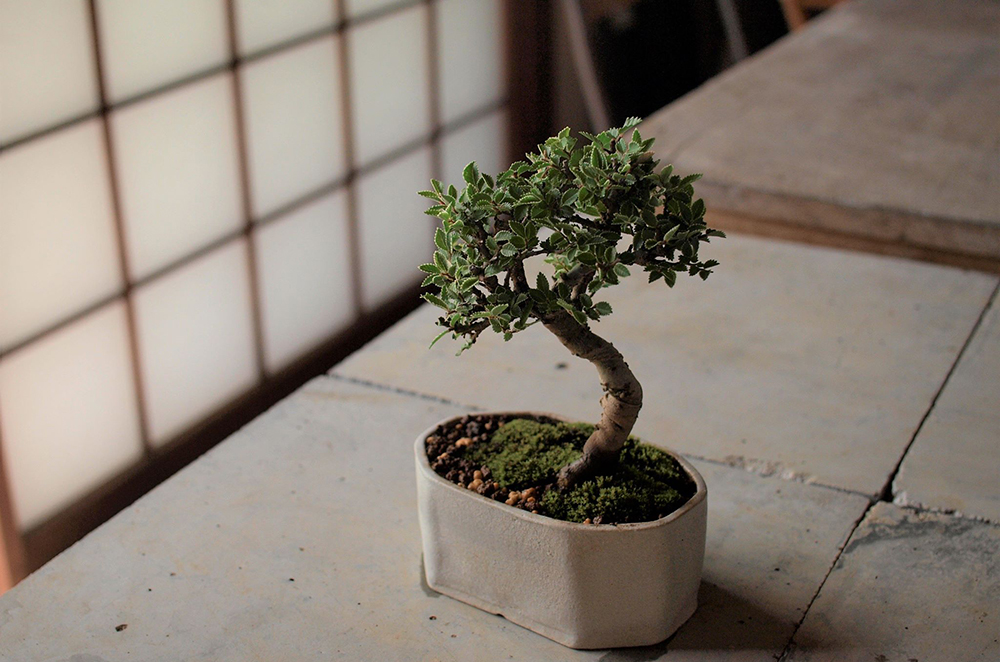 7月7日(土)榊麻美さんの「夏の緑を楽しむニレケヤキの盆栽ワークショップ」参加者募集