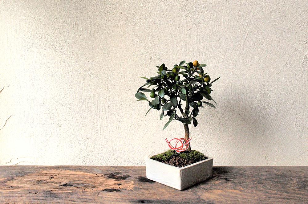 12月15日(土)榊麻美さんの「初春を飾る金豆(キンズ)の盆栽ワークショップ」参加者募集