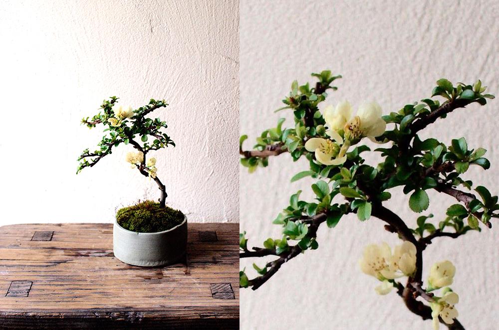 3月30日(土)榊麻美さんの「長寿梅の盆栽ワークショップ」満席